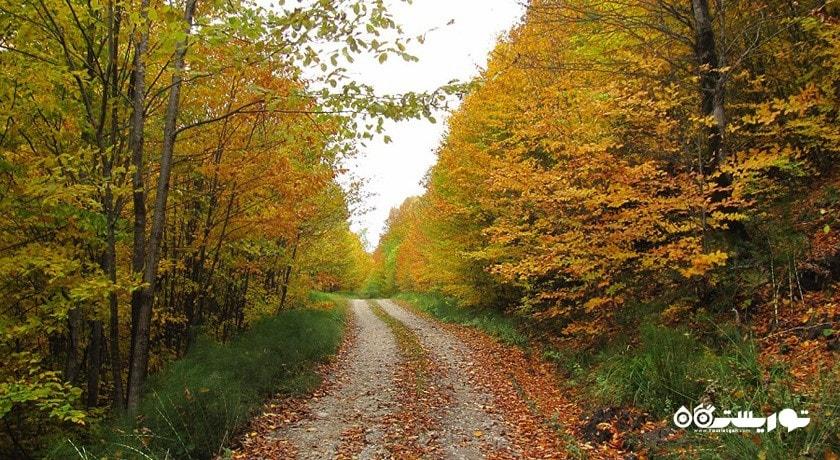 جنگل راش (جنگل مرسی سی سنگده) شهرستان مازندران استان پل سفید