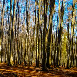 جنگل راش (جنگل مرسی سی سنگده)