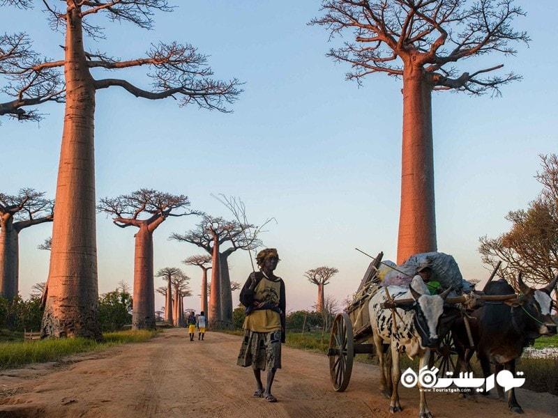 17- خیابان بائوباب (Avenue of the Baobabs)