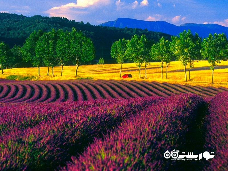 12-مزارع اسطوخودوس پروانس، فرانسه  Lavender Field of Provence, France