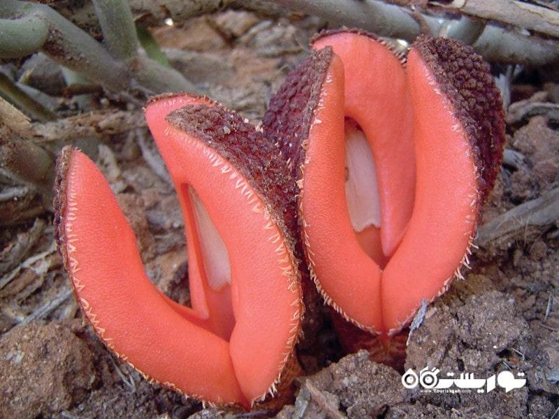 1: غذای شغال (Jackal Food (Hydnora Africana
