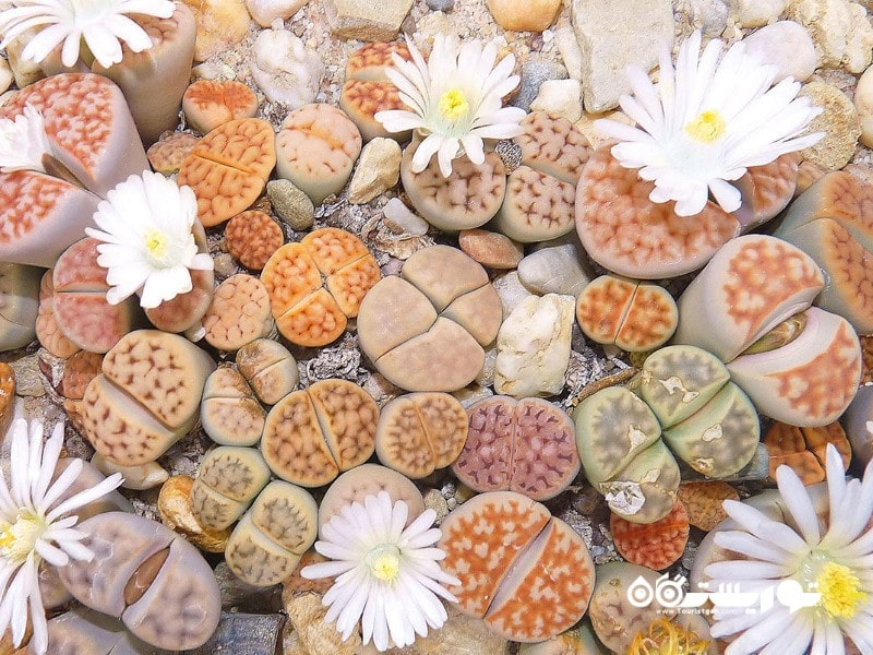 4: سنگرخ یا لیتوپس (Stone Plant (Lithops