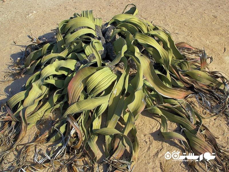 8: زشت ترین گیاه به نام ویلوچیا میرابیلیس (Ugliest Plant (Welwitschia Mirabilis