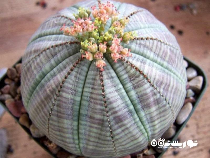 5: گیاه بیسبال به نام افوربیا اوبسا (Baseball Plant (Euphorbia Obesa
